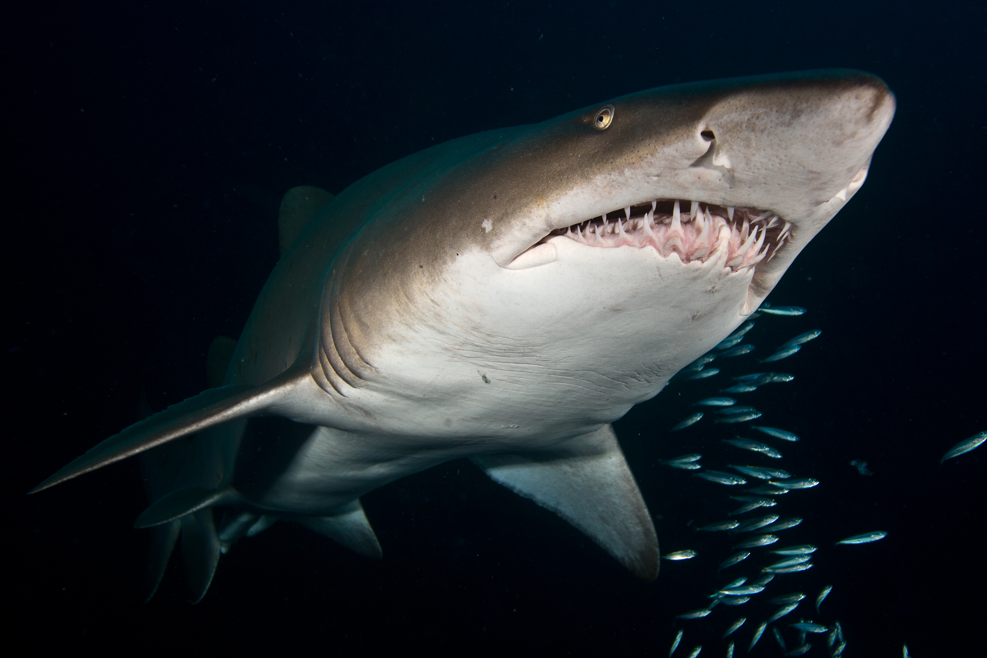 Grey Nurse Shark, SW Rocks